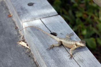 Calango no passarela de madeira na praia Aruana